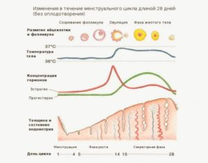 Температура из-за прогестерона