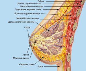 Жировая Долька молочной железы