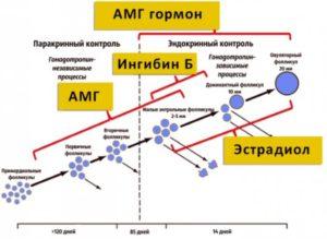 Целесообразность ЭКО со своими яйцеклетками при низком АМГ